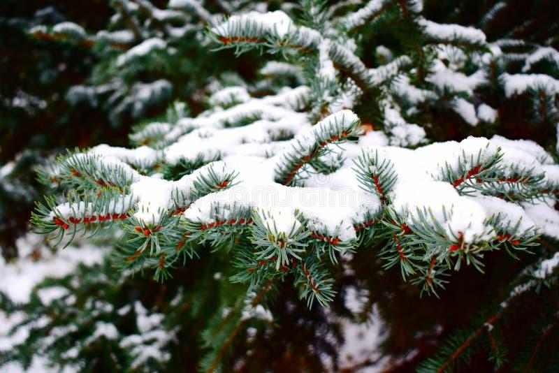 Conifer gałąź zakrywać z hoarfrost obraz royalty free