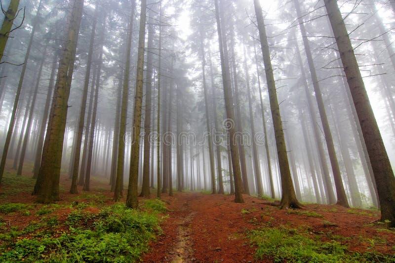 conifer mgły las zdjęcie royalty free