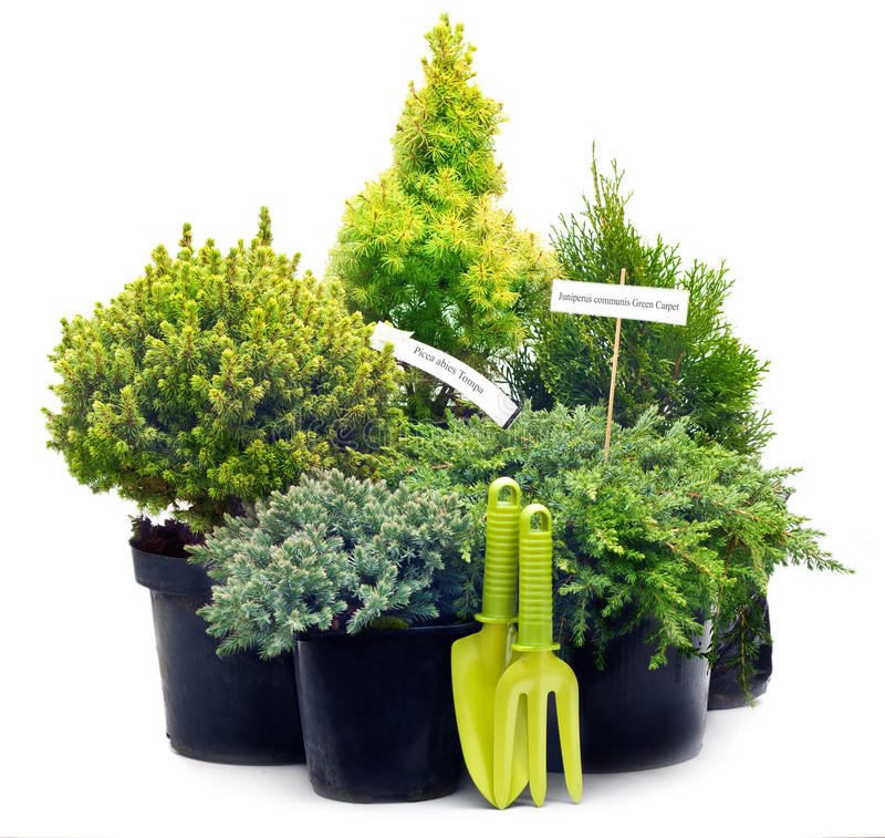 Download Conifer Sapling Trees In Pots Stock Photo - Image: 34288998