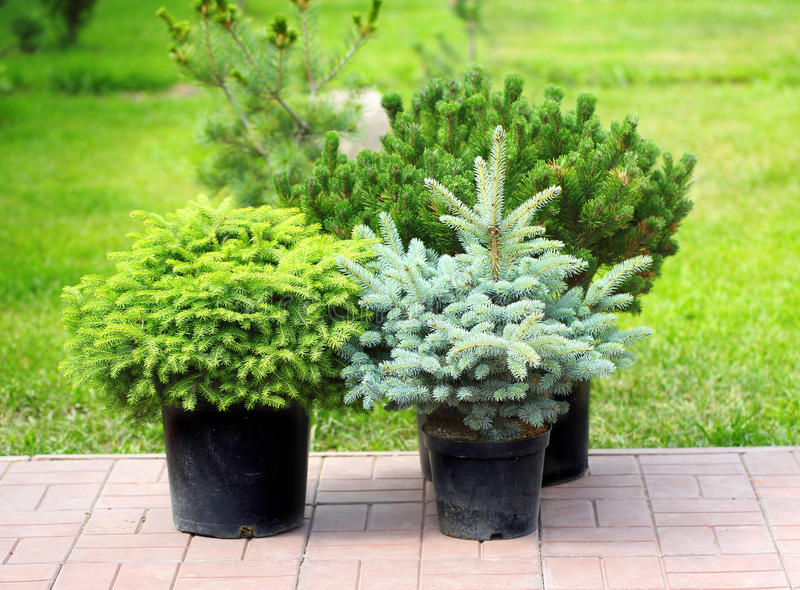Conifer sapling trees in pots. Ready for planting in garden stock image