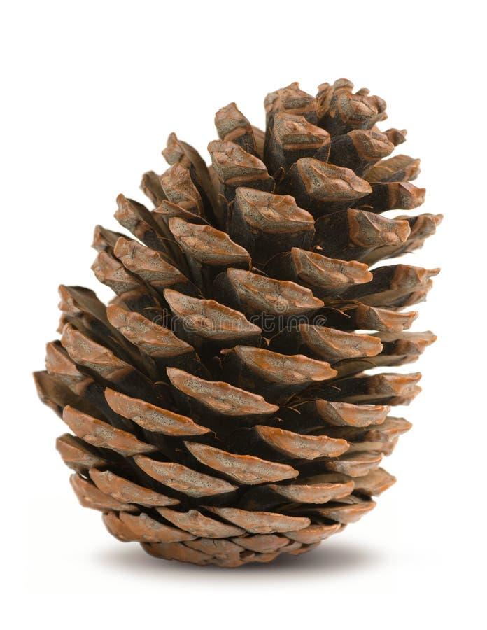 Conifer sosny rożek obrazy royalty free