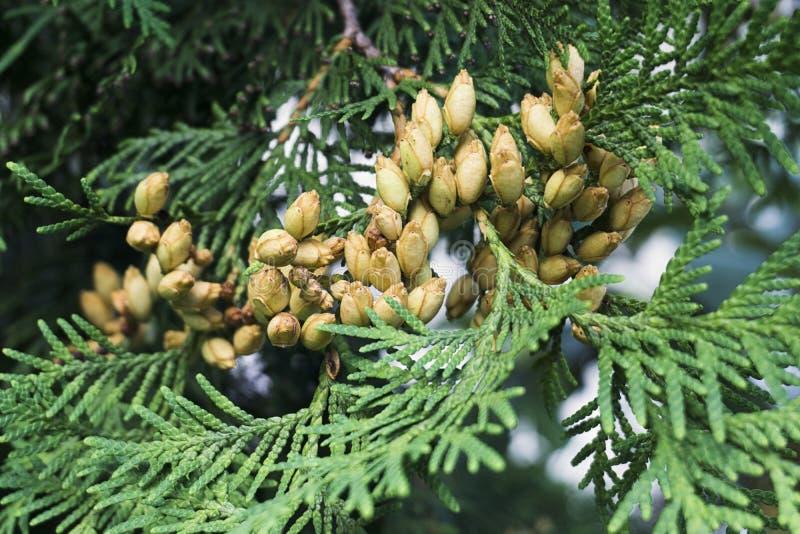 Conifer Thuja Orientalis: uma aproximação dos cones de sementes imaturas Folhas do galho Thuja com pequenos cones imagem de stock