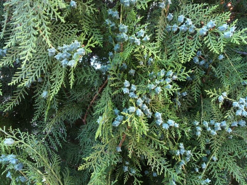 Conifer Thuja Orientalis : uma aproximação dos cones de sementes imaturos Thuja branch com pequenos cones imagem de stock royalty free