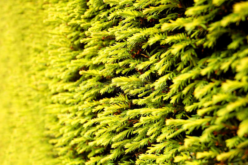 Download Conifer tree stock photo. Image of green, yellow, vivid - 27161130