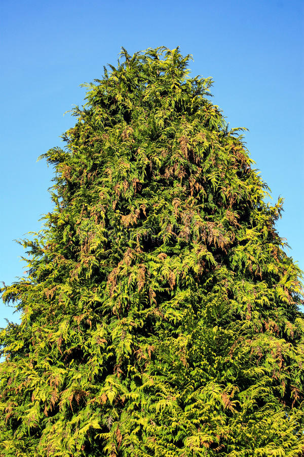 Free Conifer Tree Royalty Free Stock Photos - 98828728