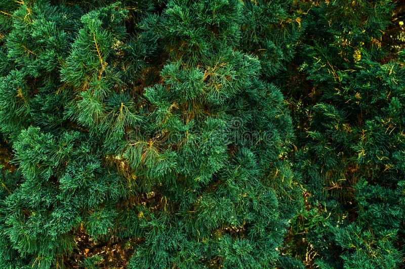 Conifer tree background leaf background, green pine tree leave stock photo