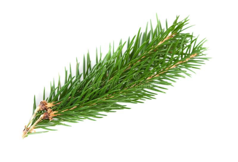 Conifer tree branch isolated. Nature Symbol of Christmas and Ne. W Year on white background royalty free stock photography