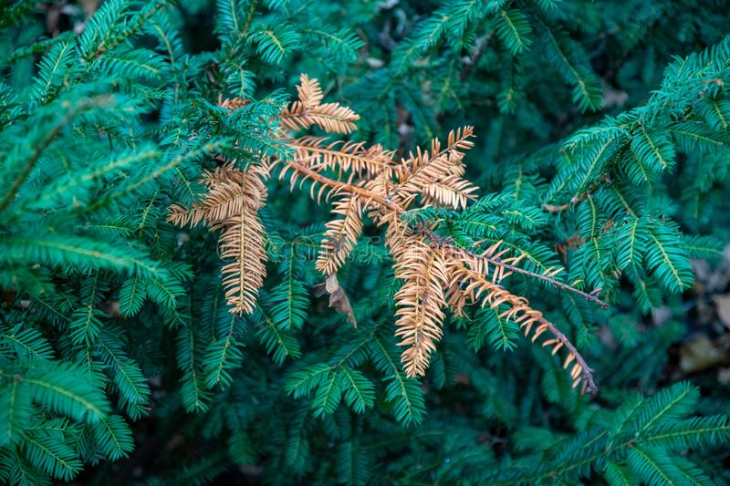 Conifer tree branches and single dry twig royalty free stock images