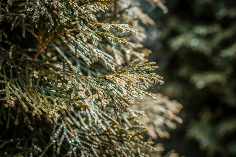 Conifer tree branches with water droplets. Conifer tree branches with water droplets closeup with copy space on blurred background royalty free stock photo