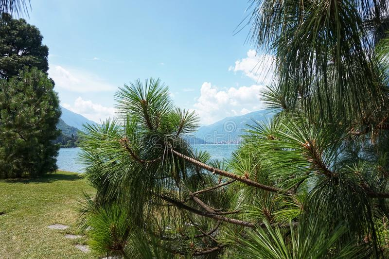 A conifer tree grows on the shores of Lake Como. Bellagio.I Giardini di Villa Melzi stock photography