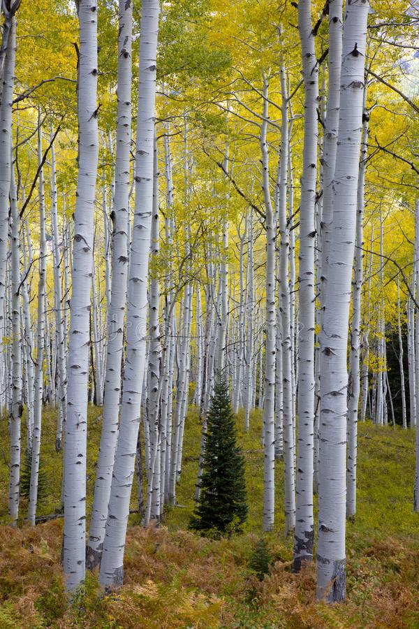 Lone conifer in Aspen trees groves in Autumn Kebler Pass near Crested Butte Colorado America. Aspen grove tree Fall foliage stock photography