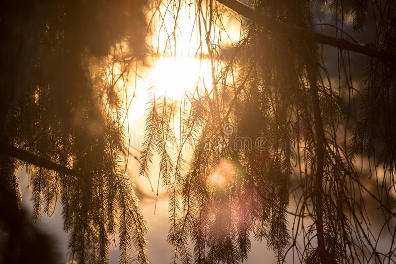 Conifer tree at sunset in nature royalty free stock photo