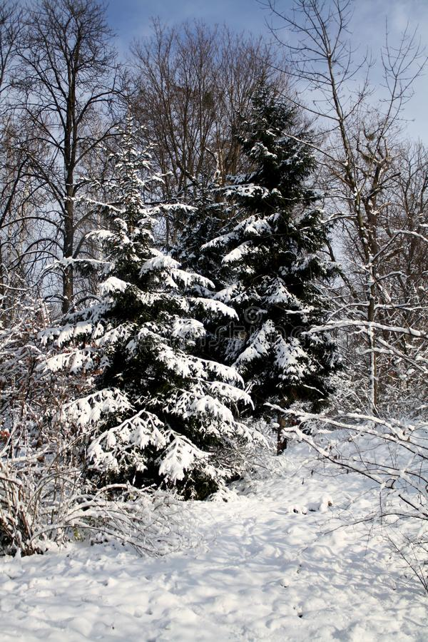 Conifer trees covered with snow royalty free stock image