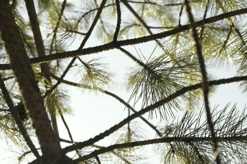 Conifera sopra la composizione nel cielo fotografia stock libera da diritti