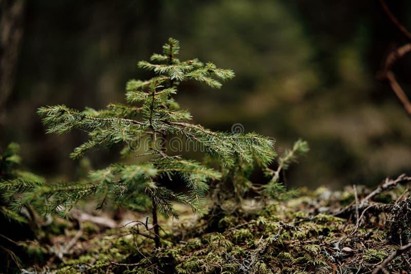 Coniferae, δέντρο έλατου στοκ φωτογραφίες