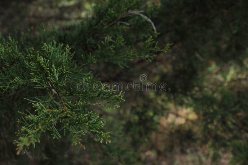 Coniferae igły Makro- zdjęcia stock