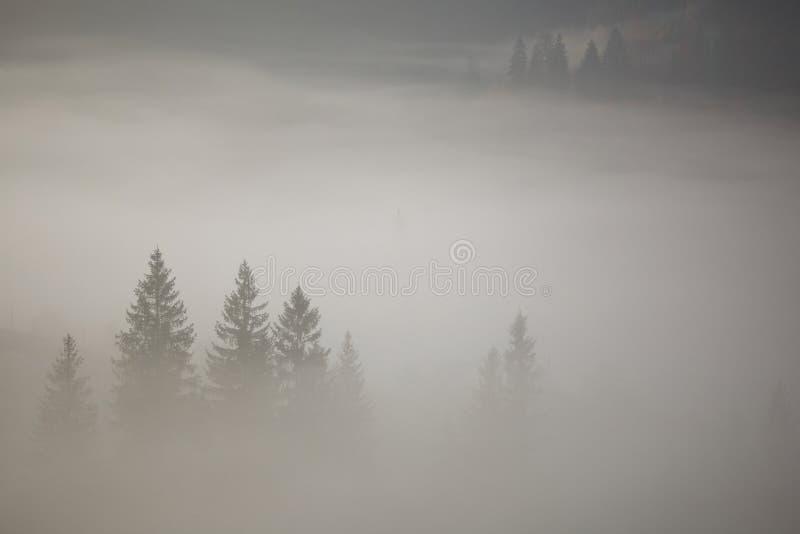 Conifere in una nebbia spessa immagini stock libere da diritti
