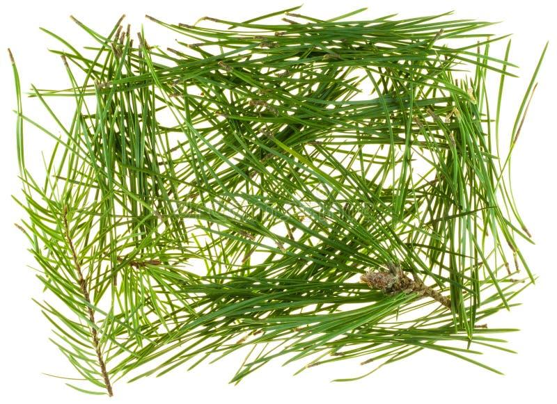 coniferous валы игл стоковая фотография