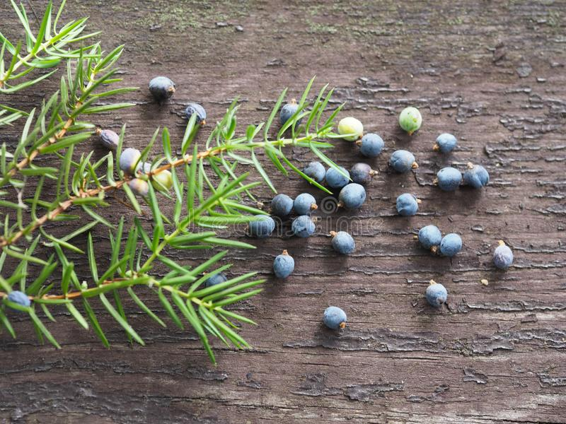 Coniferous ветвь и зрелые ягоды можжевельника стоковая фотография rf
