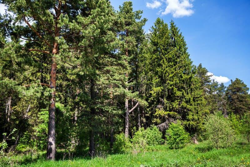 Coniferous лес в умеренном климате стоковое изображение