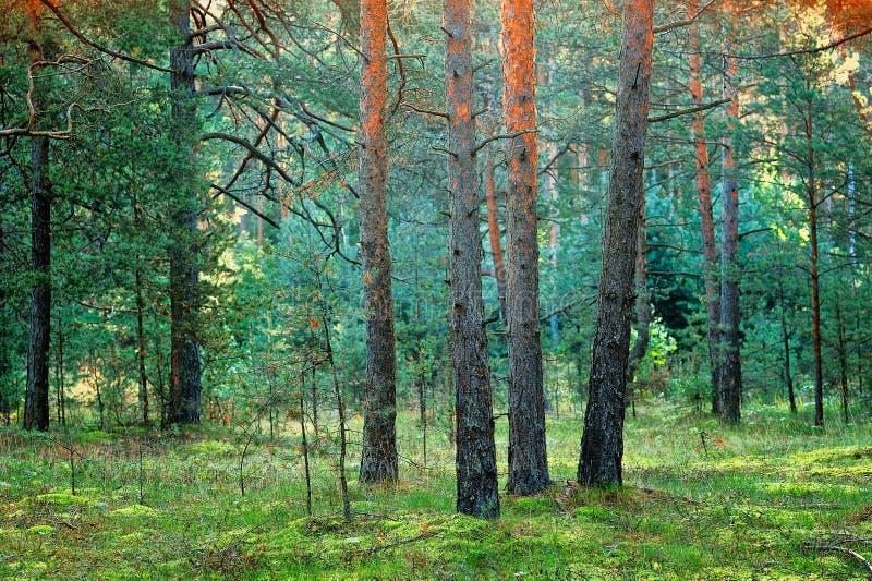 Download Coniferous лес стоковое изображение. изображение насчитывающей ель - 37926373