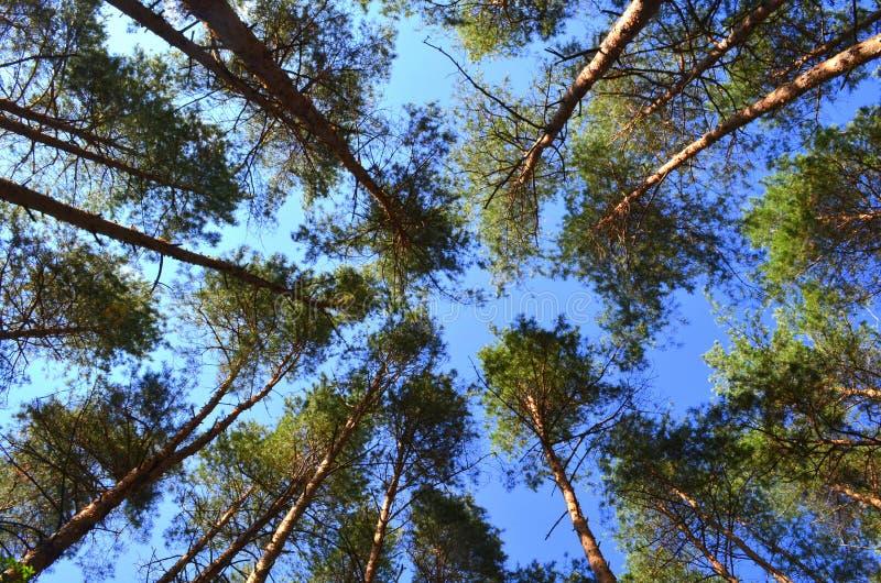Coniferous лес стоковые фото