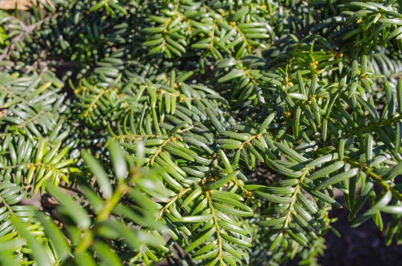 Coniferous конец-вверх листвы стоковые изображения