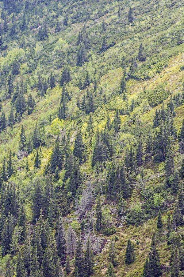 Coniferous лес, меньшее Fatra, Словакия стоковые изображения