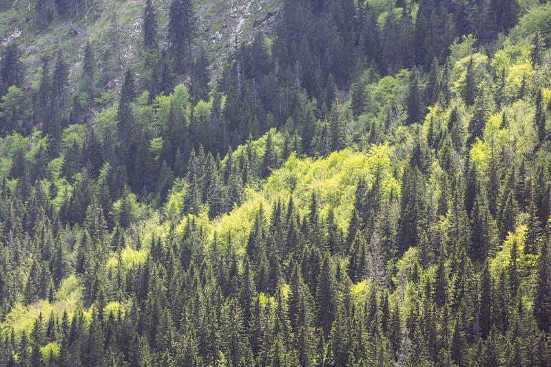 Coniferous лес, меньшее Fatra, Словакия стоковая фотография
