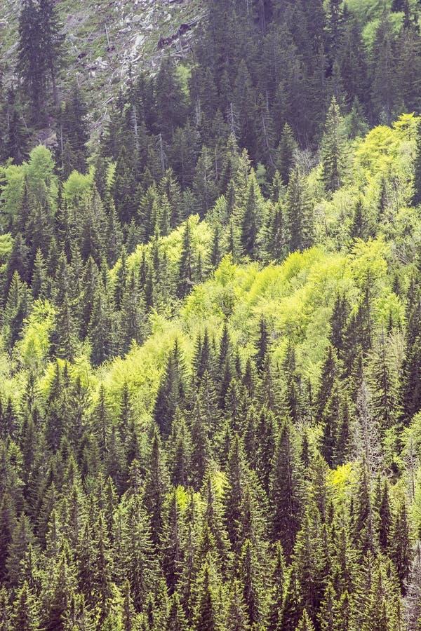 Coniferous лес, меньшее Fatra, Словакия стоковые фотографии rf