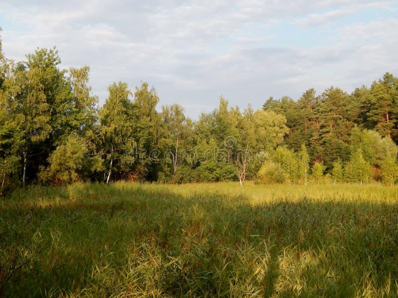 Coniferous лес рано утром летом стоковое изображение rf
