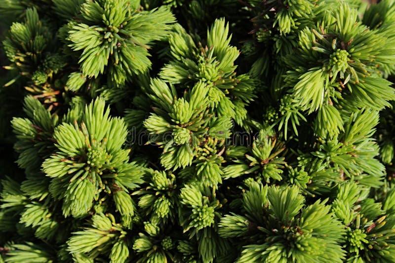 Coniferous текстура шипов Picea Glauca Echiniformis белого спруса стоковые фото