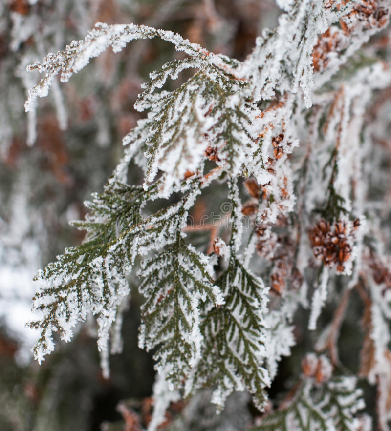 Coniferous branches and cones covered with hoarfrost. Coniferous Thuja branches and cones covered with hoarfrost. Close up royalty free stock photos