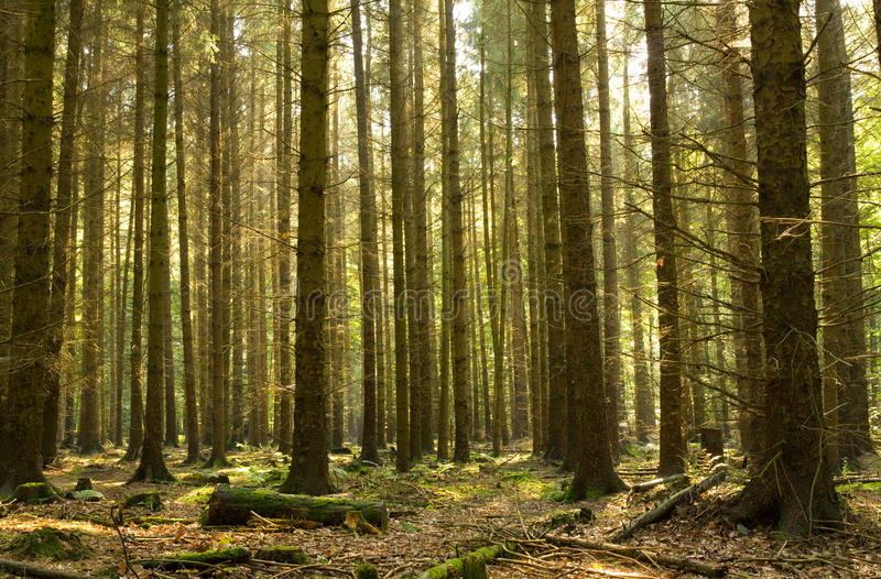 Coniferous forest royalty free stock photo