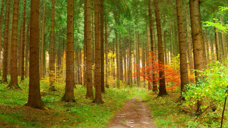 Coniferous forest in autumn royalty free stock photography