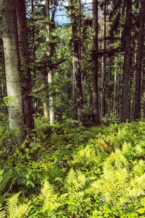 Coniferous forest, Babia hora, Orava, Slovakia royalty free stock image