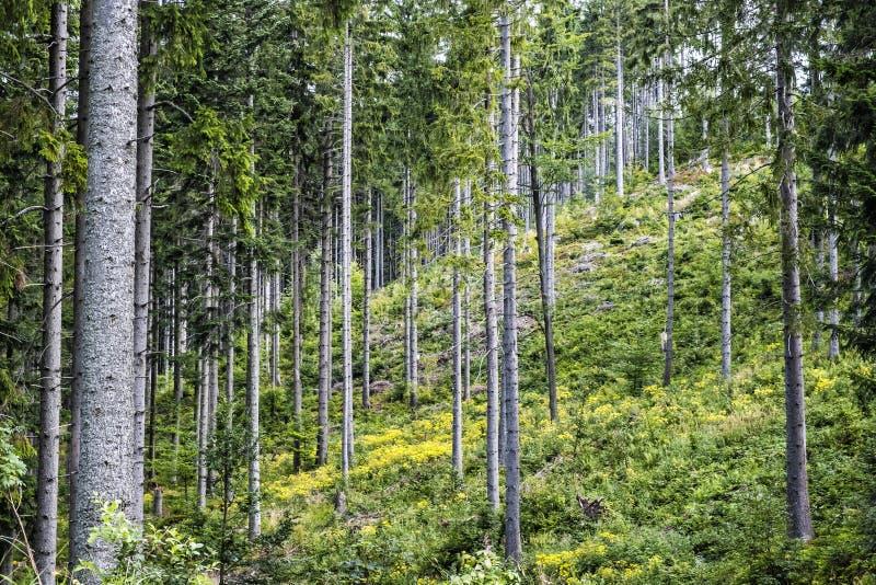 Coniferous forest, Babia hora, Orava, Slovakia royalty free stock photo