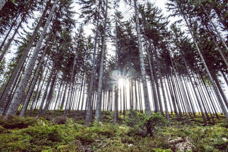 Coniferous forest, Babia hora, Orava, Slovakia stock images