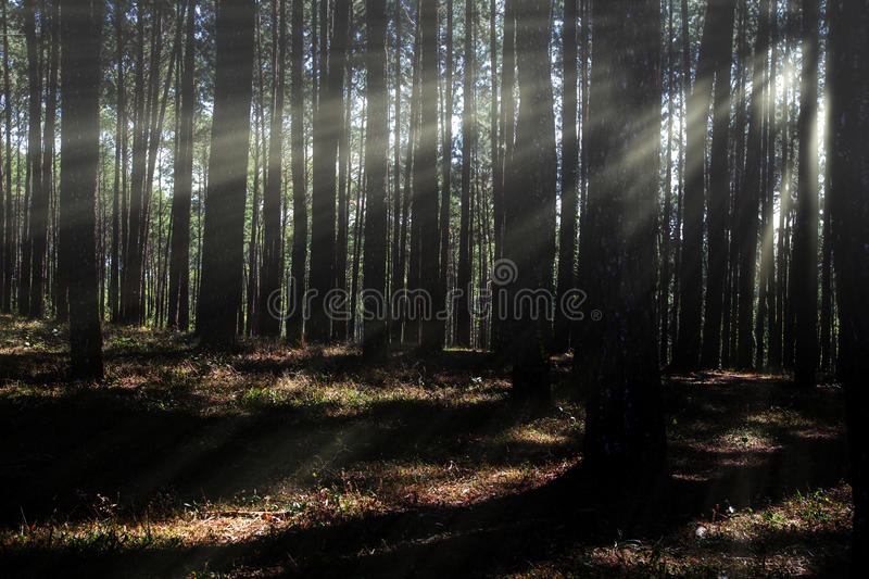Coniferous forest backlit by the rising sun. On a misty day royalty free stock photos