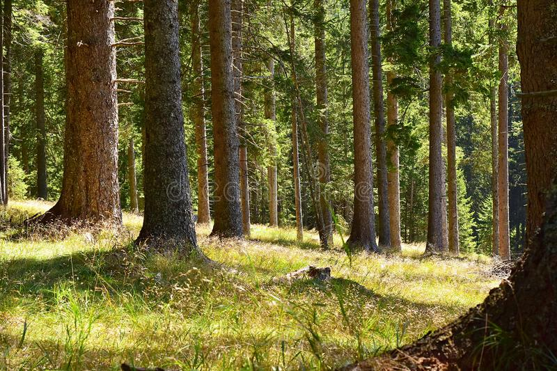 Coniferous forest. stock photography