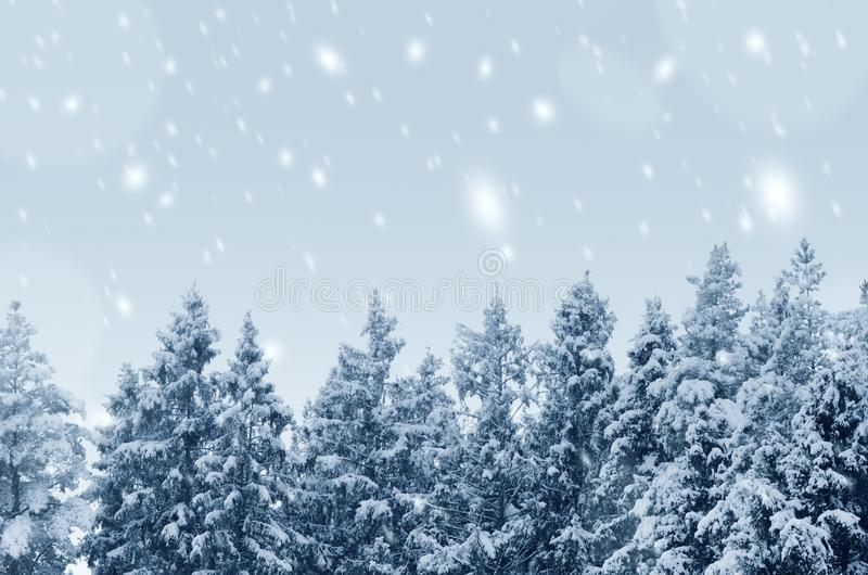 Coniferous forest covered with snow landscape backdrop. Winter season wild nature scenery. Snowy weather. Downfall in spruce. Woodland. Fir tree tops in royalty free stock image