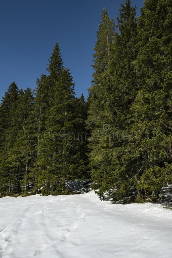 Coniferous forest in early spring. Bright blue sky stock image