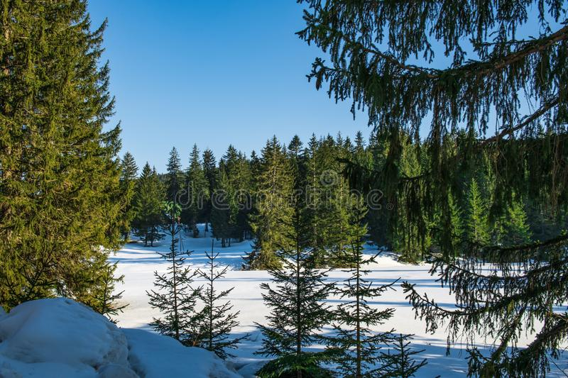 Coniferous forest in early spring. bright blue sky royalty free stock image