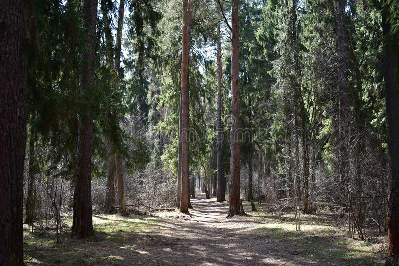 Coniferous forest fascinates with its beauty and aroma. In comparison with deciduous forests in coniferous vegetation is not so diverse, but it is not scarce stock images