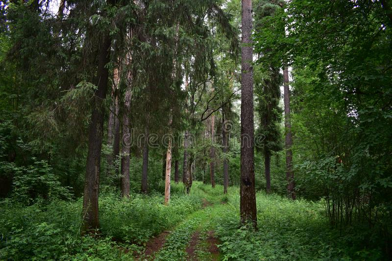 In the coniferous forest Hiking, horse riding and Cycling route, ecological trail stock photos