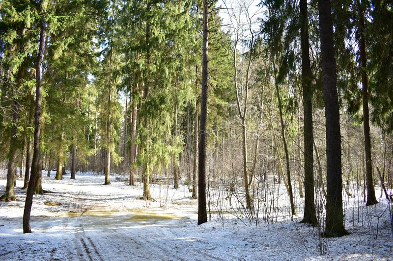 In the coniferous forest in the last weeks of winter snow loses its whiteness stock photo