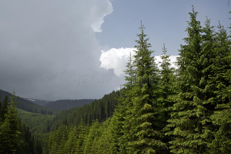 Coniferous Forest On The Mountain Royalty Free Stock Photos