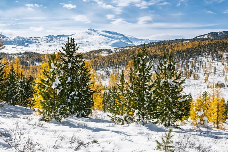 Coniferous forest in the mountains royalty free stock photos