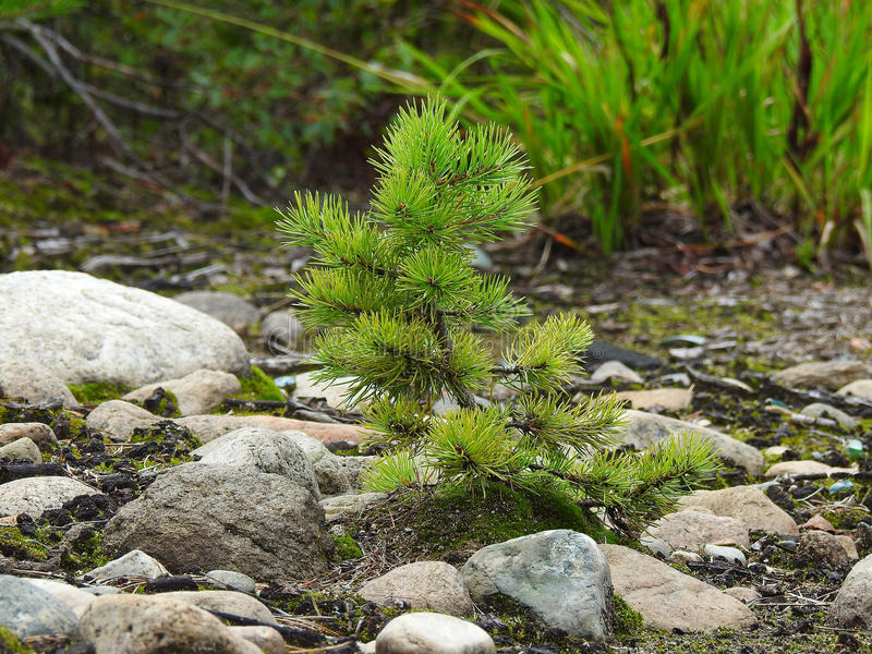 Download Coniferous Forest Stock Photo - Image: 83709662