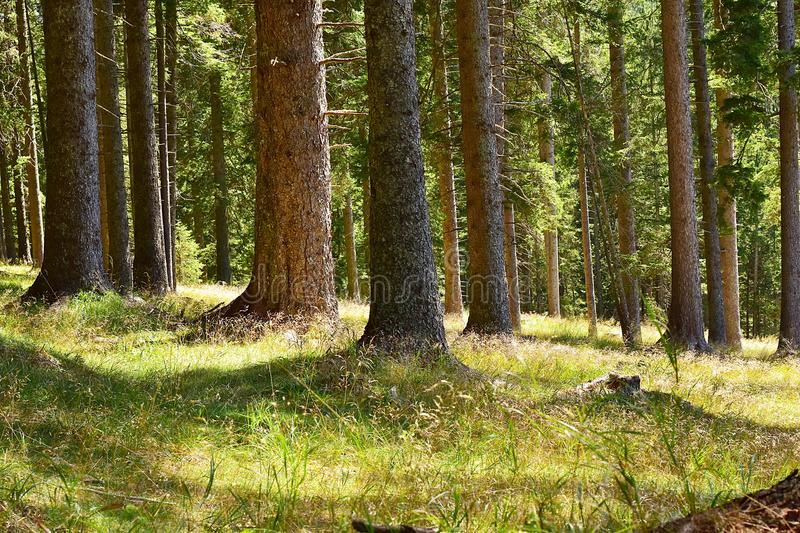 Coniferous forest. stock photo